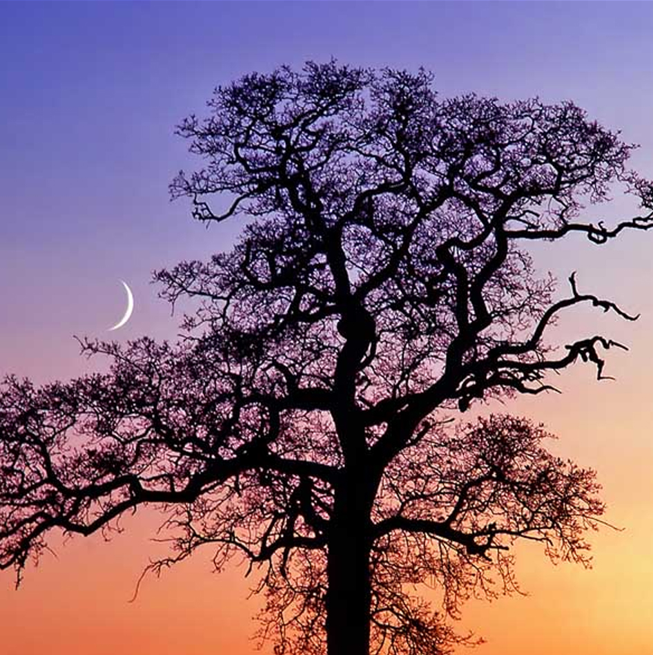 Oak Tree and Crescent Moon Greeting Card
