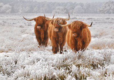 Highland Cattle Personalised Christmas Card