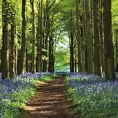 Path Through Bluebell Forest Greeting Card