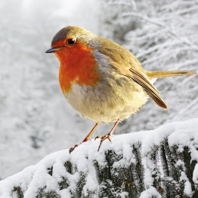Robin on Branch Age UK Christmas Pack (10)