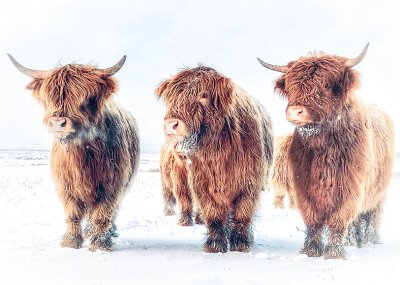 Highland Cows in Winter Personalised Christmas Card