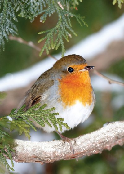 Robin in a Fir Tree Personalised Christmas Card