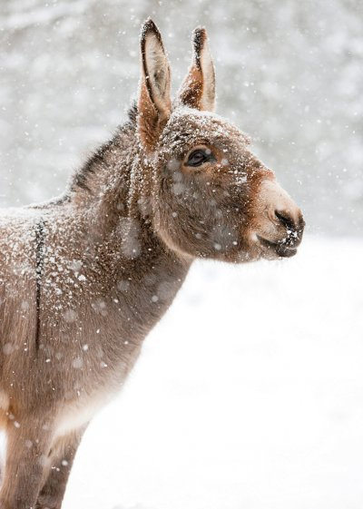 Miniature Donkey in the Snow Personalised Christmas Card